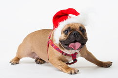 Animals. One beige dog French Bulldog white isolated, Christmas. Wonderful beige dog French Bulldog, has red Christmas hat. New Year holiday card. Little Santa Royalty Free Stock Images