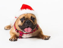 Animals. One beige dog French Bulldog white isolated, Christmas. Wonderful beige dog French Bulldog, has red Christmas hat. New Year holiday card. Little Santa Stock Photo
