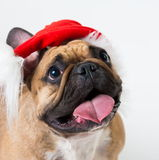 Animals. One beige dog French Bulldog white isolated, Christmas. Wonderful beige dog French Bulldog, has red Christmas hat. New Year holiday card. Little Santa Stock Images