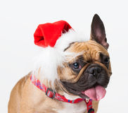 Animals. One beige dog French Bulldog white isolated, Christmas. Wonderful beige dog French Bulldog, has red Christmas hat. New Year holiday card. Little Santa Stock Image