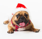 Animals. One beige dog French Bulldog white isolated, Christmas. Wonderful beige dog French Bulldog, has red Christmas hat. New Year holiday card. Little Santa Royalty Free Stock Photos