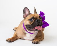 Animals. One beige dog French Bulldog white isolated, purple bow. Wonderful beige dog French Bulldog, has purple bow. New Year holiday card. Winter snow Royalty Free Stock Image