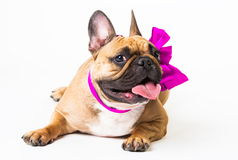 Animals. One beige dog French Bulldog white isolated, purple bow. Wonderful beige dog French Bulldog, has purple bow. New Year holiday card. Winter snow Stock Image