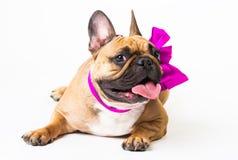 Animals. One beige dog French Bulldog white isolated, purple bow Stock Image