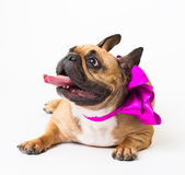 Animals. One beige dog French Bulldog white isolated, purple bow. Wonderful beige dog French Bulldog, has purple bow. New Year holiday card. Winter snow Royalty Free Stock Photography