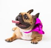 Animals. One beige dog French Bulldog white isolated, purple bow Royalty Free Stock Photography