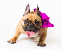 Animals. One beige dog French Bulldog white isolated, purple bow. Wonderful beige dog French Bulldog, has purple bow. New Year holiday card. Winter snow Royalty Free Stock Photos