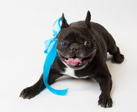 Animals. One black dog French Bulldog white isolated, blue bow. Wonderful black dog French Bulldog, has blue bow. New Year holiday card. Winter snow background Royalty Free Stock Photo