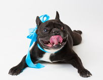 Animals. One black dog French Bulldog white isolated, blue bow. Wonderful black dog French Bulldog, has blue bow. New Year holiday card. Winter snow background Stock Photos