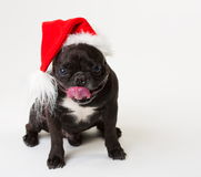 Animals. One black dog French Bulldog white isolated, Christmas. Wonderful black dog French Bulldog, has red Christmas hat. New Year holiday card. Little Santa Royalty Free Stock Image