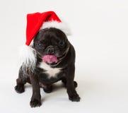 Animals. One black dog French Bulldog white isolated, Christmas Royalty Free Stock Image