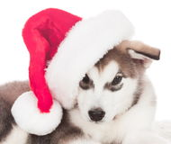 Animals. One puppy Husky white , Christmas hat. Wonderful dog puppy Husky, has red Christmas hat. New Year holiday card. Little Santa Claus. Winter snow Royalty Free Stock Images
