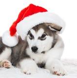 Animals. One puppy Husky white , Christmas hat Stock Photo