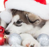Animals. One puppy Husky white , Christmas hat. Wonderful dog puppy Husky, has red Christmas hat. New Year holiday card. Little Santa Claus. Winter snow Royalty Free Stock Photography