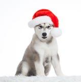 Animals. One puppy Husky white , Christmas hat Stock Image