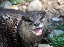 Animals - Otter Royalty Free Stock Photo