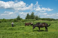 Animals on pasture with a shepherd. The shepherd grazes his cows and horse in the meadow Royalty Free Stock Photography