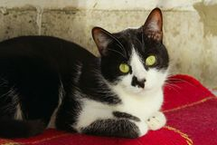 Cropped Shot Of A Tuxedo Cat. Cat Lying. Animals, Pets Concept. Cropped Shot Of A Tuxedo Cat. Cat Lying stock photo