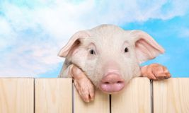 Animals. Pig piglet head isolated snout pets Royalty Free Stock Photos