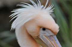 Animals. Pink head of pelican at Limassol Zoo, Cyprus, with a very persistent look Royalty Free Stock Image