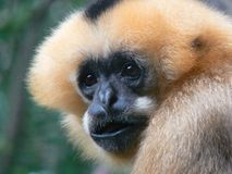 Animals: Portrait of a Monkey. Monkey with black face, tan fur, and black strip, close up of face Stock Photo