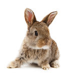 Animals. Rabbit isolated on a white royalty free stock photo