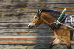 Animals. Red horse in a harness with a yoke, a shaft and an arc. Stock Photos