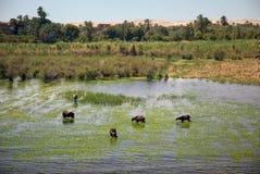 Animals refresh on Nile Stock Image