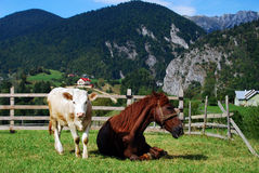 Animals relaxing. Cow and hourse relaxing in he grass Stock Photo