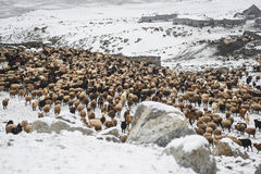 Animals returning from grazing in areas of high Karakoram Mountains Royalty Free Stock Images