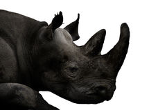 Animals - Rhinoceros (Ceratotherium simum) Stock Images