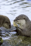 Animals and River Pollution. Otters eating discarded plastic lit royalty free stock images