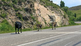 Animals on the road. Animals leave the pasture and go out on the road royalty free stock images