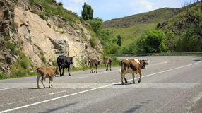 Animals on the road. Animals leave the pasture and go out on the road stock image