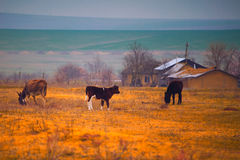 Animals in the Romanian countryside Royalty Free Stock Photos