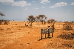 Animals on safari in Tanzania royalty free stock images