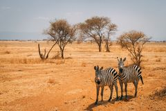 Animals on safari in Tanzania stock photo