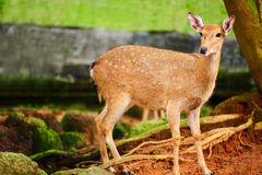 Animals. Sika Deer In Zoo, Looking In Camera. Thailand, Asia. Animals. Closeup Portrait Of Beautiful Spotted Fallow Sika Deer Standing In The Zoo, Looking In Royalty Free Stock Photo