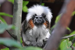 Animals. Small angry animal with funny face at Limassol Zool, Cyprus Royalty Free Stock Photo