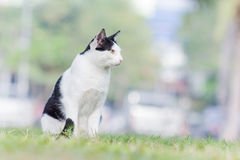 White black cat alone Royalty Free Stock Image