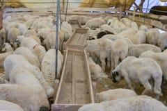 Animals sold for sacrifice - Turkish Kurban Bayrami