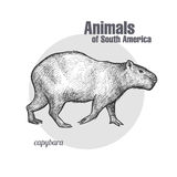 Animals of South America Capybara. Stock Photos