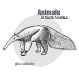 Animals of South America Giant anteater. Giant anteater hand drawing. Animals of South America series. Vintage engraving style. Vector illustration art. Black Stock Image