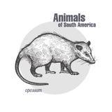 Animals of South America Opossum. Stock Images