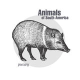 Animals of South America Peccary. Peccary hand drawing. Animals of South America series. Vintage engraving style. Vector illustration art. Black and white Stock Photos