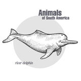 Animals of South America River dolphin. River dolphin hand drawing. Animals of South America series. Vintage engraving style. Vector illustration art. Black and Royalty Free Stock Photos