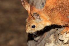 Animals,squirrel, Royalty Free Stock Photo