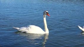 Animals swan arrived closer to shore to fish. Flock of swans swimming, put heads in water and looking for fish in river. Animals arrived closer to shore to fish stock video