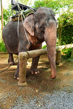 Animals In Thailand. Thai Elephant With Rider Saddle. Travel Asi Royalty Free Stock Image