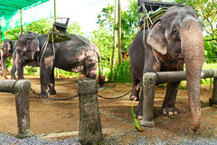 Animals In Thailand. Thai Elephants With Ride Saddles. Travel, T. Animals In Thailand. Group Of Thai Elephants With Ride Saddles In Elephant Camp. Travel Asia royalty free stock photo